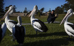 Sam Ware, 22, takes photos of pelicans while out on a morning walk from the hostel where he is staying at The Entrance, Central Coast, Australia, Thursday, July 25, 2019. Sam was 19 when his opioid addiction began, a good kid with a good job as a factory machine operator. He loved photography and walking in the woods. He had little interest in drinking and none in drugs. (AP Photo/David Goldman)