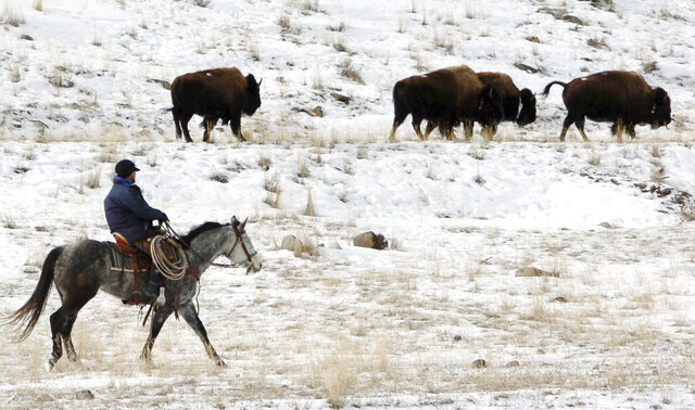 FILE - In this Jan. 19, 2011, file photo bison from Yellowstone National Park are herded down the Yellowstone River valley toward Cutler Meadow in the Gallatin National Forest, in Mont. Yellowstone National Park officials said in a 2018 briefing paper that they were ordered by then, Secretary of the Interior Ryan Zinke to manage the park's bison