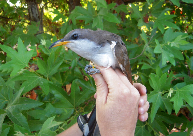 This undated image provided by the U.S. Fish and Wildlife Service shows a western yellow-billed cuckoo. The agency on Thursday, Feb. 27, 2020 recommended designating hundreds of square miles in seven western states as critical habitat for the threatened species. (Mark Dettling/Point Blue/U.S. Fish and Wildlife Service via AP)