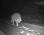 In this Jan. 21, 2017, remote camera image, released by the Oregon Department of Fish and Wildlife, shows a wolf from the Walla Walla Pack in northern Umatilla County, Ore. A proposal to strip gray wolves of their remaining federal protections could clip the predators' rapid expansion across vast swaths of the U.S. West and Great Lakes. (Oregon Department of Fish and Wildlife via AP)