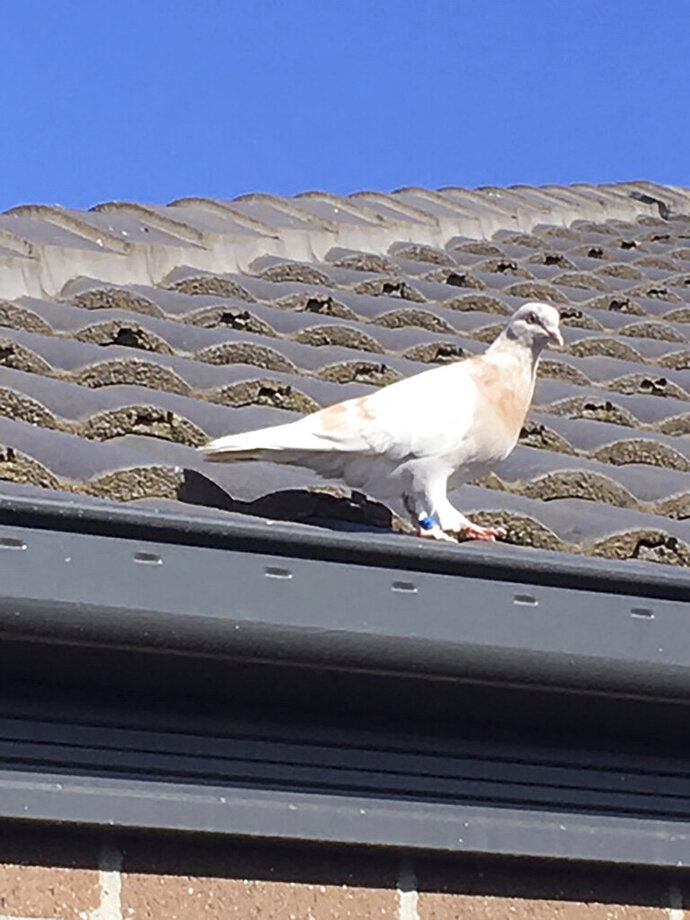 FILE - In this Jan. 13, 2021, file photo released by Kevin Celli-Bird, a pigeon with a blue leg band stands on a rooftop in Melbourne, Australia. A U.S. bird organization said the leg band identifying the bird as a U.S. racing pigeon was counterfeit, which may save the bird from strict Australian biosecurity policies that would call for a U.S. pigeon to be killed.  (Kevin Celli-Bird via AP, File)