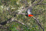 In this photo provided by Ian Adrian, an elegant trogon flies in Madera Canyon, south of Tucson, Ariz., on June 30, 2021.  The Tucson Audubon Society's annual trogon survey _ covering five mountain ranges including the Santa Ritas _ found only 68 of elegant trogon in May. That's barely one third of the 201 the survey found in the same mountains in 2020. (Ian Adrian via AP)