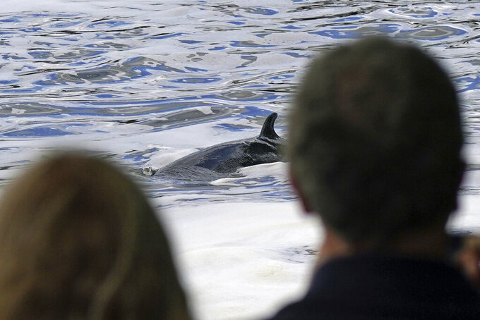 A Minke whale, which was freed on Sunday after it became stuck on Richmond lock's boat rollers but has remained in the Thames, is seen near Teddington Lock in London, Monday, May 10, 2021. A Port of London Authority spokesperson said a whale had never been seen this far up the Thames before, some 95 miles from its mouth. (Yui Mok/PA via AP)