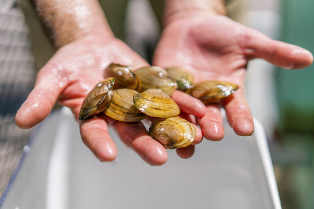 This undated photo from the Wyoming Fish and Game Department shows an employee holding freshwater mussels. Biologists in July, 2020, released about 2,400 pocketbook mussels to attempt to reintroduce the species to the Laramie and North Platte rivers in southeastern Wyoming. (Wyoming Game and Fish Department via AP)