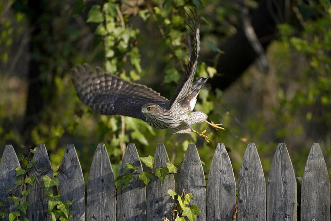 FILE - A Cooper's Hawk flies off a wooden fence in a yard in Lutherville-Timonium, Md. on April 5, 2021. The National Audubon Society has updated its million-selling field guides on birds and trees of North America for the first time in decades. The guides now include the conservation status of nearly every species of bird and tree. Maps show how climate change has affected their ranges. (AP Photo/Julio Cortez, File)