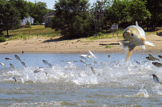 FILE - In this June 13, 2012, file photo, Asian carp, jolted by an electric current from a research boat, jump from the Illinois River near Havana, Ill. A fishing method originally developed in China will be used to remove invasive Asian carp from Kentucky Lake and Lake Barkley. The
