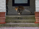 In this Wednesday, March 20, 2019 photo, a wallaby leaps to the front porch of a home in a Dallas neighborhood. The wallaby is native to Australia and New Guinea and part of the same family as kangaroos. Dallas Animal Services announced in a Facebook post Wednesday afternoon that the animal was kept secure until its unidentified owner picked it up. (Vernon Bryant/The Dallas Morning News via AP)