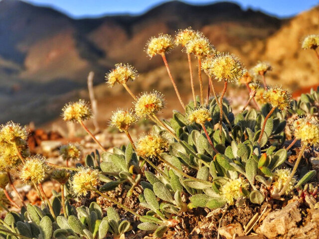 This June 1, 2019, photo provided by the Center for Biological Diversity, shows the rare desert wildflower Tiehm's buckwheat in the Silver Peak Range about 120 miles southeast of Reno, Nev. An Australian mining company has agreed to a moratorium on new activities at a planned lithium mine in Nevada in exchange for conservationists dropping a lawsuit to protect a rare desert wildflower they say doesn't exist anywhere else in the world. (Patrick Donnelly/Center for Biological Diversity via AP)