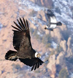 """In this undated photo provided by Alvaro Moya Riffo in July 2020, an Andean condor soars above the Patagonian steppe in Argentina. For the first time, a team of scientists strapped recording equipment they called """"daily diaries"""" to eight condors in Patagonia, to record each wingbeat over more than 250 hours of flight time. Incredibly, the birds spent just 1% of their time aloft flapping their wings, mostly during take-off. One bird flew more than five hours, covering more than 100 miles (160 km), without flapping its wings. (Alvaro Moya Riffo via AP)"""