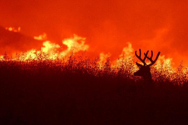 A deer flees flames as the Quail Fire burns near Winters, Calif., on Saturday, June 6, 2020. (AP Photo/Noah Berger)