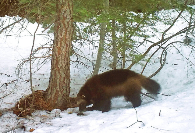 FILE - This on Feb. 27, 2016, file photo provided by the California Department of Fish and Wildlife, from a remote camera set by biologist Chris Stermer, shows a mountain wolverine in the Tahoe National Forest near Truckee, Calif., a rare sighting of the predator in the state. U.S. wildlife officials are withdrawing proposed protections for the snow-loving wolverine after determining the rare and elusive predator is not as threatened by climate change as once thought. (Chris Stermer/California Department of Fish and Wildlife via AP, File)