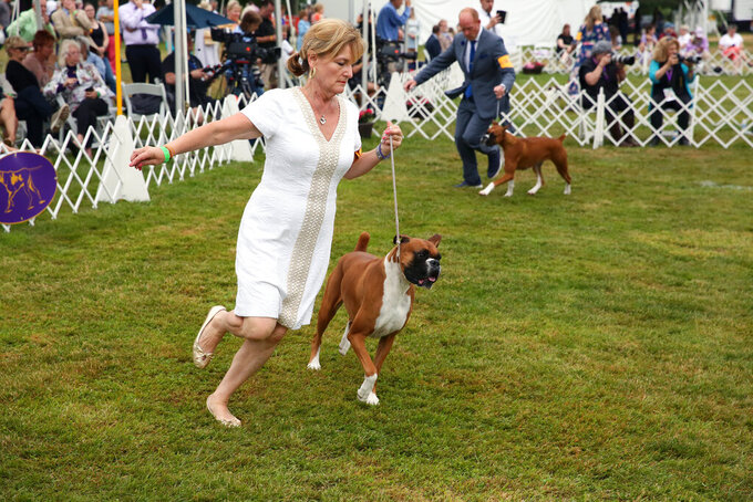 A boxer competes at the Westminster Kennel Club dog show on Sunday, June 13, 2021, in Tarrytown, N.Y.  Competition wraps up at the Westminster Kennel Club dog show, held this year outside New York City due to the pandemic. (AP Photo/Jennifer Peltz)