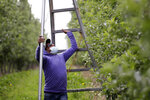 FILE - In this June 16, 2020, file photo, Cirio Hernandez Hernandez moves a ladder as he works to thin honey crisp apples in an orchard in Yakima, Wash. While the coronavirus pandemic at first pounded the greater Seattle area, the epicenter has now moved east across the Cascade Range. Washington is seeing rising cases of COVID-19, driven in large part by increasing numbers in Yakima, Benton, Franklin and Spokane counties, the largest communities in eastern Washington. (AP Photo/Elaine Thompson, File)