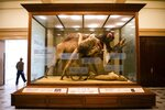 """The diorama  """"Lion Attacking a Dromedary"""" is on display on Thursday, July 8, 2021 at the Carnegie Museum of Natural History in Pittsburgh.  The curtain around the diorama was removed last week, about a year after the Carnegie Museum of Natural History covered up the display in response to complaints about how the courier was depicted. Information is now posted to address the controversy. (Shane Dunlap/Pittsburgh Tribune-Review via AP)"""