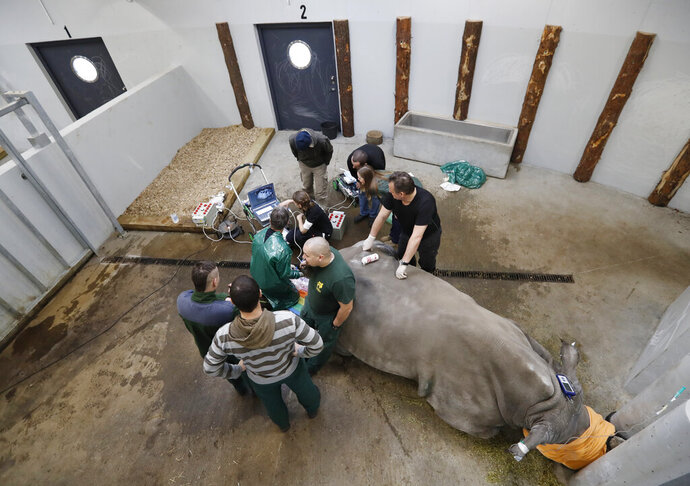 Team of experts harvests eggs from female southern white rhino, 17-year-old Hope, at a zoo park in Chorzow, Poland, Wednesday, Feb. 13, 2019. (AP Photo/Petr David Josek)
