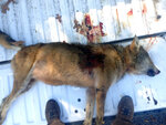 This Nov. 18, 2013 photo provided by the United States Fish and Wildlife Service shows a red wolf found shot in Washington County, N.C. Wildlife officials warn the red wolves of North Carolina could be gone from the wild within a decade. (USFWS via AP)