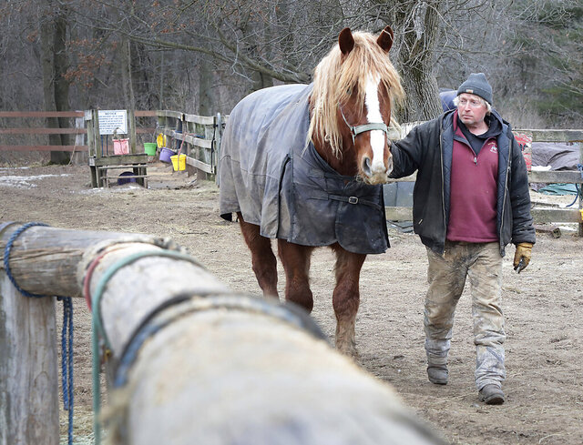 In this Thursday, Jan. 9, 2020 photo, Red Ridge Ranch equestrian riding center owner Lyle Peterson walks one of the business' Belgian horses on the property in Mauston, Wis. More than 100 of the ranch's horses were sickened after ingesting contaminated hay obtained from out-of-state suppliers. (John Hart/Wisconsin State Journal via AP)