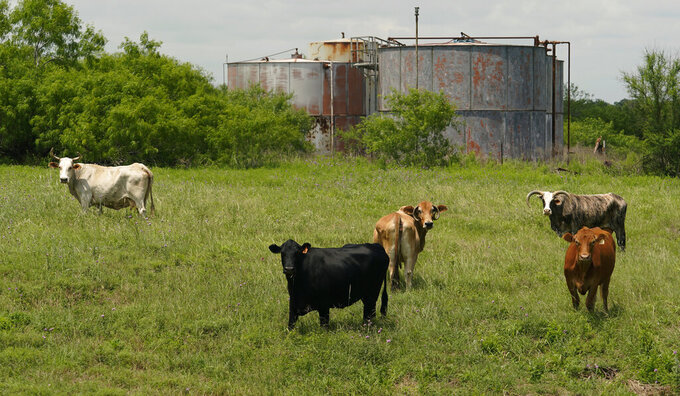 Cattle graze near aging oil storage tanks on the Rooke family ranch, Tuesday, May 18, 2021, near Refugio, Texas. Oil and gas drilling began on the ranch in the 1920s and there were dozens of orphaned wells that needed to be plugged for safety and environmental protection. (AP Photo/Eric Gay)