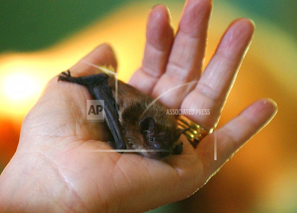 Associated Press Domestic News Connecticut United States BAT WOMAN
