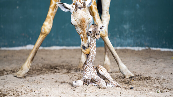 In this June 19, 2020 made available by Bush Gardens Tampa Bay, a newly born giraffe is attended by his mother in Tampa, Fla. The baby boy giraffe is an endangered reticulated giraffe. (Bush Gardens Tampa Bay via AP)