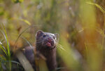 FILE - In this Sept. 4, 2015, file photo, a mink sniffs the air as he surveys the river beach in search of food, in meadow near the village of Khatenchitsy, northwest of Minsk, Belarus. Coronavirus outbreaks at mink farms in Spain and the Netherlands have scientists digging into how the animals got infected and if they can spread it to people. (AP Photo/Sergei Grits, File)