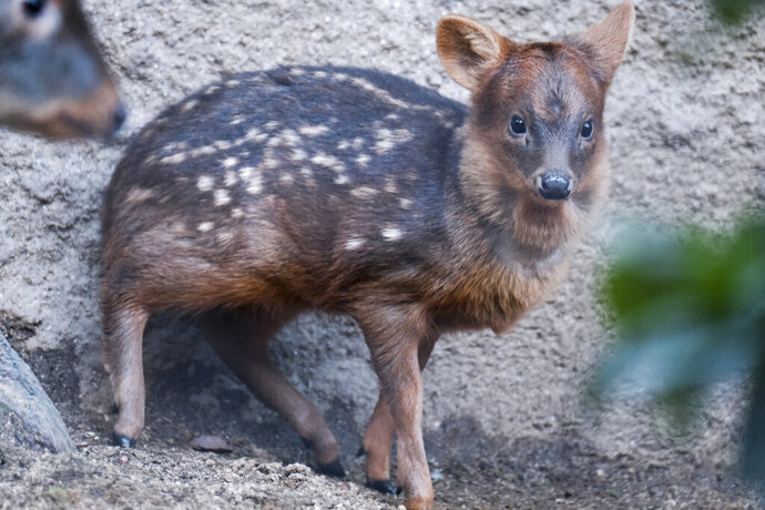 A baby pudu named Haechan, roams inside his enclosure at the Los Angeles Zoo on Thursday, Jan. 24, 2019. Fans of a Korean pop star have raised more than $2,000 to name the baby deer at the Los Angeles Zoo after their favorite doe-eyed singer. The zoo's new baby pudu was named Haechan after a member of K-pop group NCT and its two subgroups, NCT 127 and NCT Dream. The pudu made its media debut at the zoo Thursday, though he has previously been on public display after he was born Dec. 19. (AP Photo/Richard Vogel)
