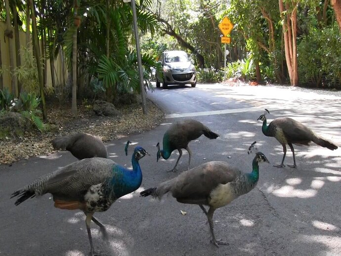 In this April 27, 2017 photo, a pack of peacocks mill about at an intersection in the Coconut Grove neighborhood of Miami. A pack of peacocks that has wreaked havoc on the Miami neighborhood will soon be relocated after city commissioners sided with residents and agreed to have the birds taken away. (Al Diaz/Miami Herald via AP)