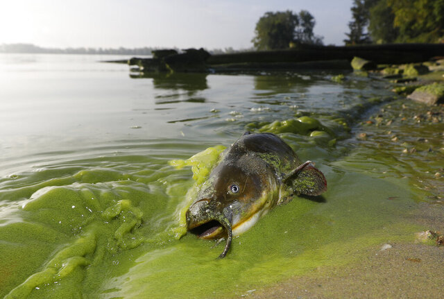 FILE - In this Sept. 20, 2017 file photo, a catfish appears on the shoreline in the algae-filled waters of North Toledo, Ohio. Ohio is rolling out a new strategy to save Lake Erie from the toxic algae that overwhelms it in the summer. Beginning in February, the state will start offering financial incentives to farmers who adopt new agriculture practices. Those are designed to reduce farm runoff that feeds the algae in the lake. Ohio's approach is being watched closely by states around the U.S. that are struggling with an increasing number of algae outbreaks in lakes and rivers. (Andy Morrison/The Blade via AP, File)