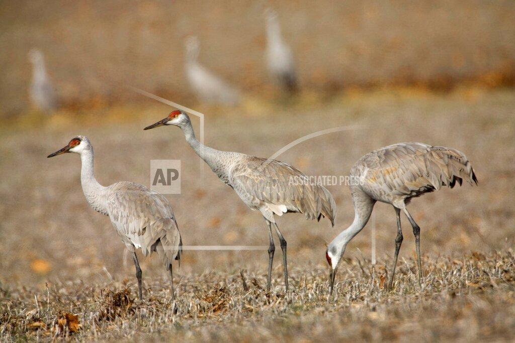 Sand Hill Cranes Photo Gallery