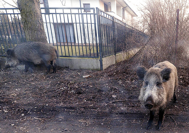 FILE In this photo taken March 25, 2018, wild boar are seen roaming near houses in Lomianki county on Warsaw outskirts. Cases of deadly African swine fever in western Poland, some 40 kilometers (24 miles) from the German border, have led Poland's veterinary authorities to seal off forests and terrain in that area. Local farmers calling for hunters to eliminate wild boar in the region. (AP Photo/Czarek Sokolowski/file)