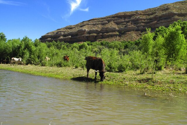 In this Sunday, June 1, 2014, photograph, cattle graze at the edge of the Verde River in Camp Verde, Ariz. An 84-acre ranch along the Upper Verde River is being added to the Prescott National Forest to help protect the river's natural state and eventually enhance public access. (AP Photo/Ross D. Franklin)