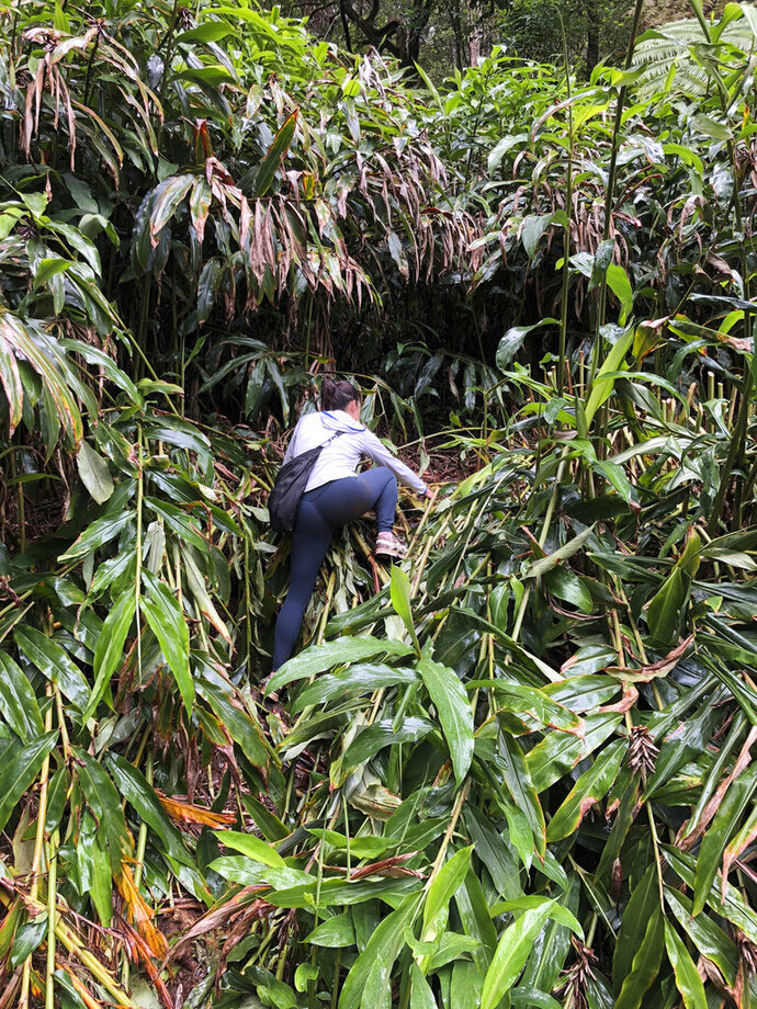 This photo provided by Yesenia D'Alessandro shows a volunteer climbing in the Makawao Forest Reserve in Haiku, Hawaii on May 16, 2019, while searching for Amanda Eller, a yoga teacher and physical therapist who went missing during a hike. The dramatic rescue of a hiker lost for more than two weeks in a remote Hawaii forest is showing how emerging technology is helping search teams more efficiently scour the wilderness for missing people. (Yesenia D'Alessandro via AP)