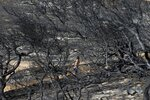 FILE - In this file photo dated Wednesday, Aug. 1, 2018, a man leaves a beach in Rafina, east of Athens, some ten days after a wildfire swept through the area leaving 76 people killed by Greece's deadliest wildfire in decades. Between 2000 and 2017, 611 firefighters and civilians died in wildfires in European Union countries, with economic damage calculated at more than 54 billion euros (dollars 60.5 billion). (AP Photo/Thanassis Stavrakis, FILE)