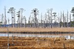 This photo provided by the University of Maryland shows invading saltwater and its effect on trees from the roots up. The last to succumb at the Blackwater National Wildlife Refuge on Maryland's Eastern Shore are the loblolly pines. (Sarah Sopher/University of Maryland via AP)
