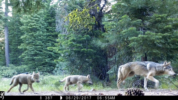 FILE - This June 29, 2017, remote camera image provided by the U.S. Forest Service shows a female gray wolf and two of the three pups born in 2017 in the wilds of Lassen National Forest in northern California. Gray wolves, among the first species protected under the Endangered Species Act in 1973, were reintroduced to Yellowstone National Park in 1995. But in other regions of the U.S., gray wolves have dispersed naturally; the population in the lower 48 states now totals about 5,500. (U.S. Forest Service via AP, File)