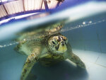 FILE - In this Friday, March 3, 2017, file photo, a female green sea turtle nicknamed Bank swims in a pool at Sea Turtle Conservation Center n Chonburi Province, Thailand. Although scientists have long focused on the world's predators, a massive new study finds that herbivores, critters that eat plants, are the animals most at risk of extinction. A bit more than one in four species of herbivores are considered threatened, endangered or vulnerable by the International Union for Conservation of Nature, the world's scientific authority on extinction risk, according to a study published Wednesday, Aug. 5, 2020, in the journal Science Advances. (AP Photo/Sakchai Lalit, File)