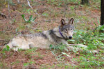 FILE - In this Feb. 2021, file photo released by California Department of Fish and Wildlife, shows a gray wolf (OR-93), seen near Yosemite, Calif., shared by the state's Department of Fish and Wildlife. A top federal wildlife official on Friday, Aug. 20, 2021, said there is growing concern over aggressive hunting rules adopted by states in the Great Lakes and northern Rocky Mountains. (California Department of Fish and Wildlife via AP, File)