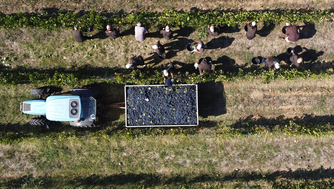 Workers harvest Petit Verdot grapes in the vineyard of Casale del Giglio, in Latina, near Rome, Wednesday, Sept. 16, 2020.  Change can come slowly to Italy's centuries-old wine industry, but in a matter of months the global pandemic radically altered the path from vine to table, beginning with the fall harvest. (AP Photo/Alessandra Tarantino)