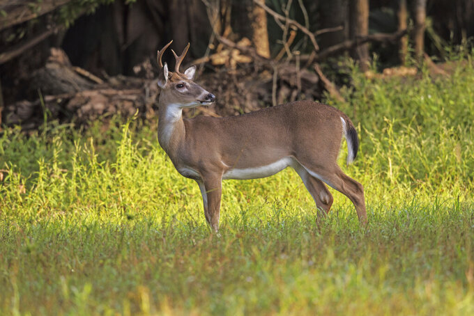 This photo by Marcus Constance and provided by the U.S. Forest Service, shows a white-tailed buck in the Kisatchie National Forest in central Louisiana during December 2020. The Louisiana Department of Wildlife and Fisheries is offering a chance at a gift card for hunters and taxidermists who bring in the heads of mature bucks killed during the 2021-22 hunting season to be tested for chronic wasting disease. The slow but fatal disease has not been found in Louisiana but has shown up in all three adjacent states – Texas, Arkansas and Mississippi. (Marcus Constance/U.S. Forest Service via AP)