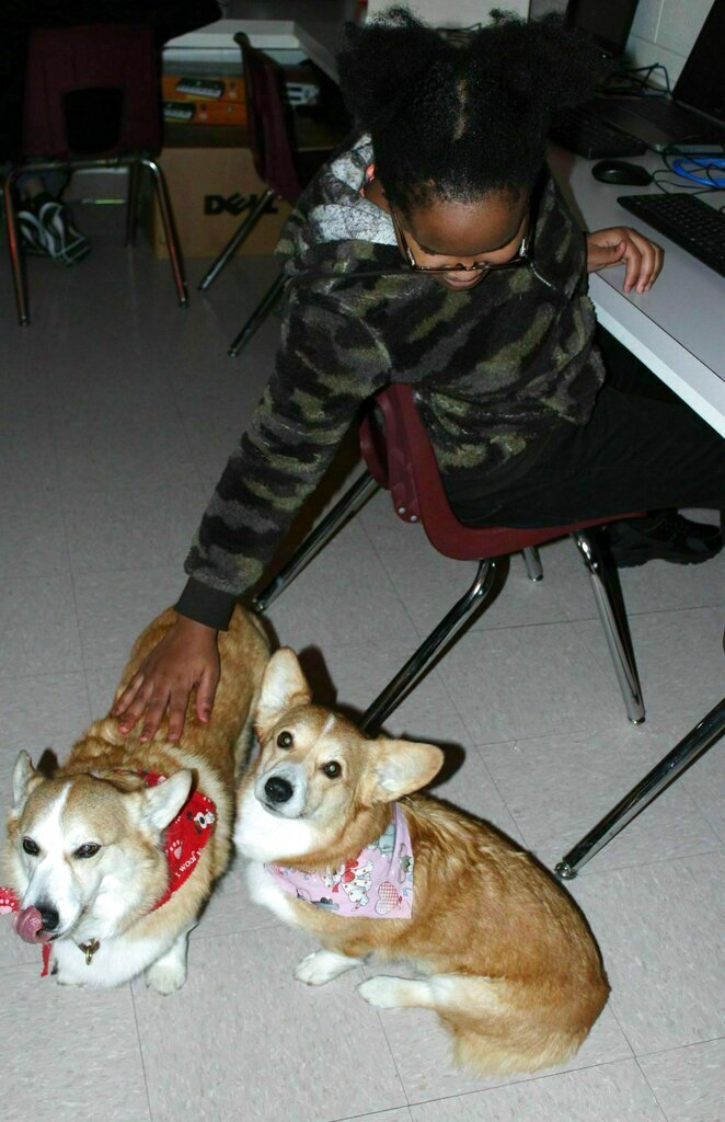 In this Feb. 2019 photo, Shawnese Henry, an eighth-grade student at J.T. Alton Middle School, pets Clint the corgi while he stands next to Victoria in Sylvia Stuckey's classroom in Vine Grove, Ky. J.T. Alton Middle School in Vine Grove now has two extra students — two furry ones. Clint, 11, and Victoria, 7, are corgis owned by resource classroom teacher Sylvia Stuckey. (Becca Owsley/The News-Enterprise via AP)