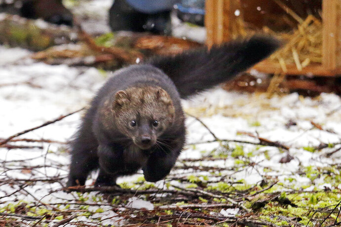 FILE - In this Dec. 2, 2016 file photo, a Pacific fisher takes off running after being released into a forest at Mount Rainier National Park, Wash. The Pacific fisher, a weasel-like carnivore native to Oregon's southern old growth forests, has been denied endangered species protection in the state, the latest twist in a legal back-and-forth that has continued for 20 years. In the decision issued last week, the U.S. Fish and Wildlife Service declined to grant the fisher threatened status in southern Oregon and northern California, citing voluntary conservation measures as effective in protecting the woodland creatures. Today, biologists estimate anywhere from a few hundred to a couple thousand fishers live in Oregon, most near the California border. (AP Photo/Elaine Thompson, File)