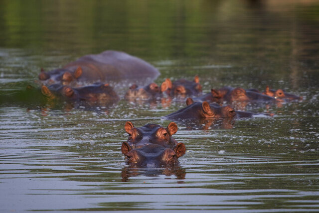 Hippos stay submerged in a lake at the Hacienda Napoles Park in Puerto Triunfo, Colombia, Wednesday, Feb. 12, 2020. The hippos, that were originally brought to Colombia by the late Colombian drug baron Pablo Escobar as part of his personal zoo, have been taking over the countryside near his former ranch endangering native animals while also leaving farmers and fisherman fearing for their safety. (AP Photo/Ivan Valencia)
