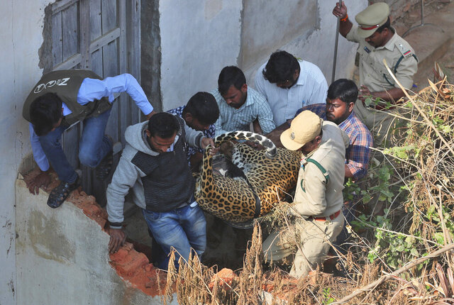 Indian wildlife officials carry a tranquillized leopard which was found on the terrace of a house in Shadnagar 55 kilometers ((34 miles) from Hyderabad, India, Monday, Jan. 20, 2020. A leopard that ran into a house and sparked a frantic search in southern India on Monday has been caught and tranquilized. (AP Photo/Mahesh Kumar A.)