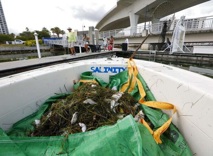 A pile of dead fish is gathered on the bow of boat as crews as a group walks along a dock Thursday, June 17, 2021 in Clearwater, Fla. Pinellas County had small boats retrieving dead fish in Dunedin and around Clearwater Harbor Thursday. The fish kill is attributed to the recent Red Tide bloom.  (Chris Urso /Tampa Bay Times via AP)