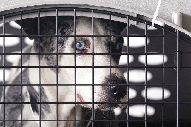 A dog peers out from a kennel after the landing of a