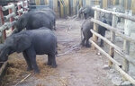 This photo supplied by the Humane Society International/Africa (HSI/Africa) shows young elephants being held in a fenced area in the Hwange Game Reserve in Zimbabwe Friday, Oct. 18, 2019. About 30 elephants, estimated to be 2 to 6 years old, were separated from maternal herds and held at Zimbabwe's Hwange National Park for nearly a year before being flown out this week to China where they will be held in zoos, according to the Humane Society International. (Photo HSI/Africa via AP)