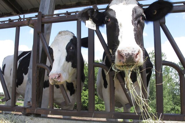 Cows on pasture at the University of Vermont dairy farm eat hay Thursday, July 23, 2020, in Burlington, Vt. When the coronavirus pandemic forced the University of Vermont to close and send its students home, the school worried about who would take care of the cows, normally tended to by students. In no time, dozens of alumni and students of a particular agriculture program clamored to spend their spring and summer caring for the Holsteins. (AP Photo/Lisa Rathke)