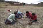 A family of potato farmers cull for seeds for their next harvest in Pisac, in southern rural Peru, Friday, Oct. 30, 2020. The government has provided millions in aid to the small percentage of large exporters, but experts said small farmers have been left out.(AP Photo/Martin Mejia)