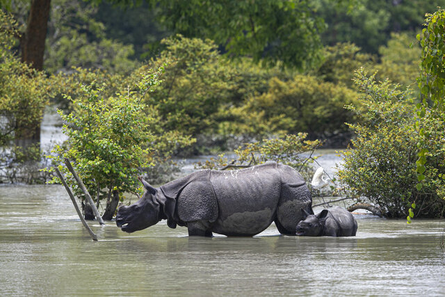 A one horned rhinoceros and a calf wades through flood water at the Pobitora wildlife sanctuary in Pobitora, Morigaon district, Assam, India, Thursday, July 16, 2020. Floods and landslides triggered by heavy monsoon rains have killed  dozens of people in this northeastern region. The floods also inundated most of Kaziranga National Park, home to an estimated 2,500 rare one-horned rhinos. (AP Photo/Anupam Nath)