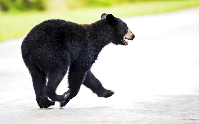 A juvenile black bear roams through Fort Myers, Fla., Tuesday morning, May 26, 2020. The bear was eventually trapped by Florida Fish and Wildlife Conservation Commission officers and will be relocated. (Andrew West/The News-Press via AP)